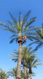 palm tree-pruining-phoenix